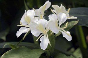 hoa bạch yến 3