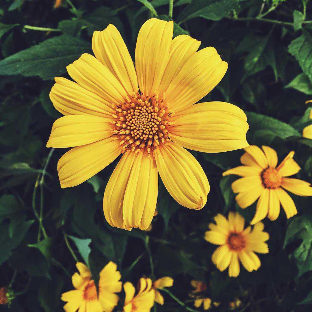hoa dã quỳ 2
