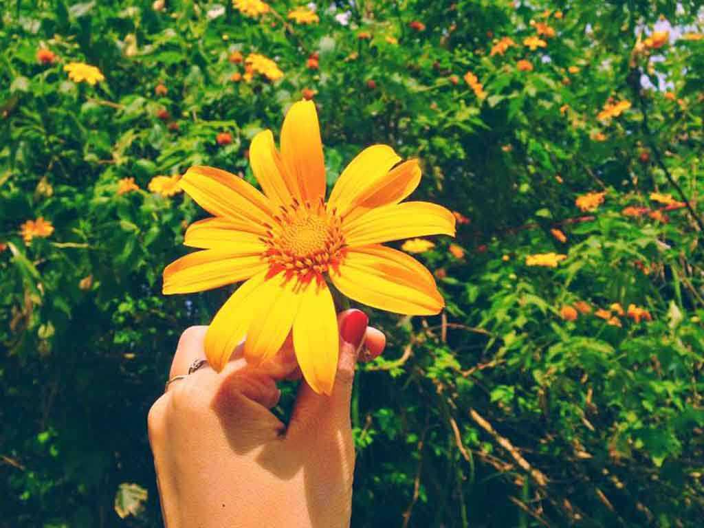 hoa dã quỳ 3