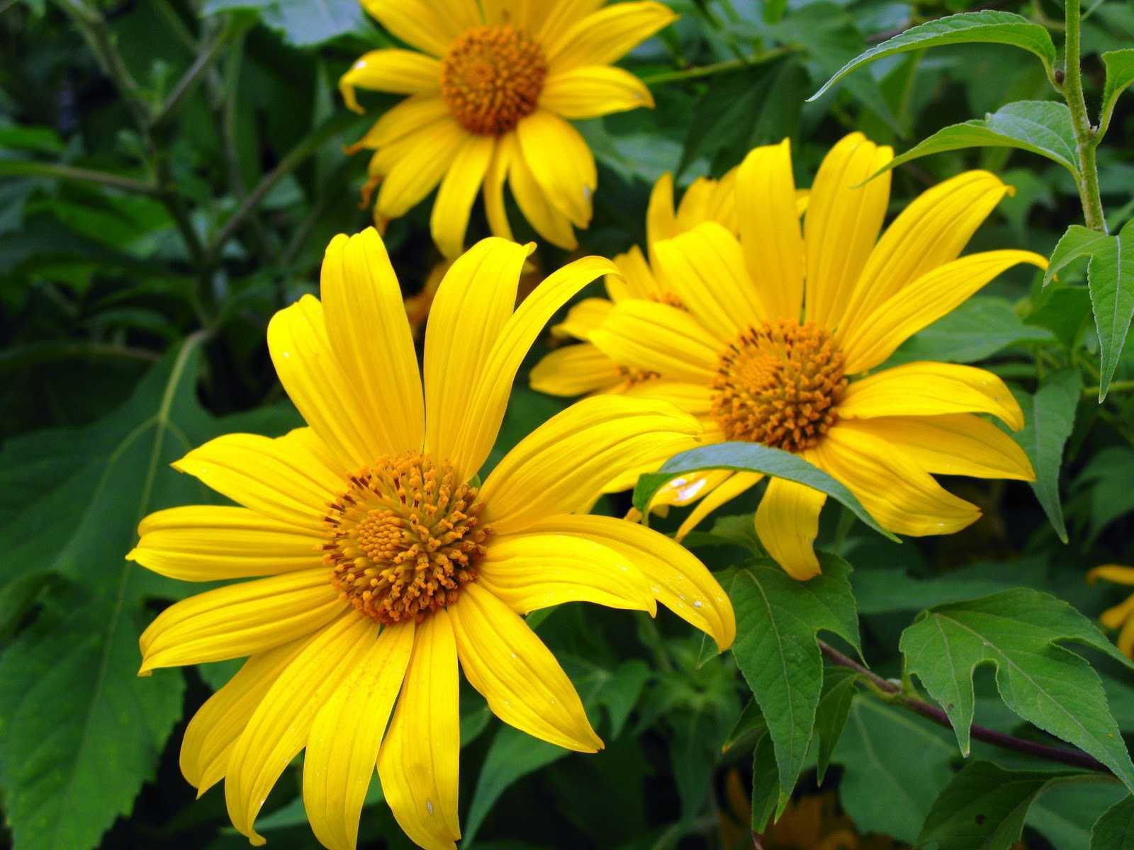 hoa dã quỳ 4