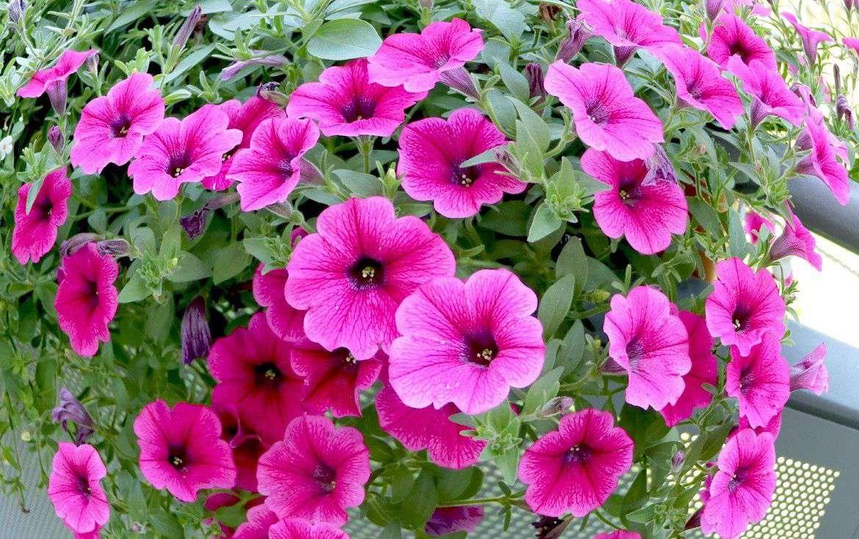 hoa dạ yến thảo 2